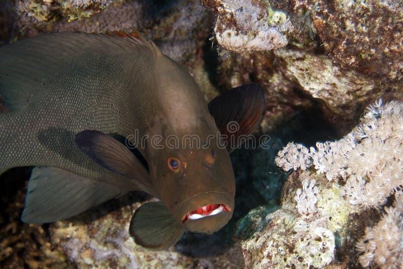 aethaloperca石斑鱼redmouth rogaa 库存图片