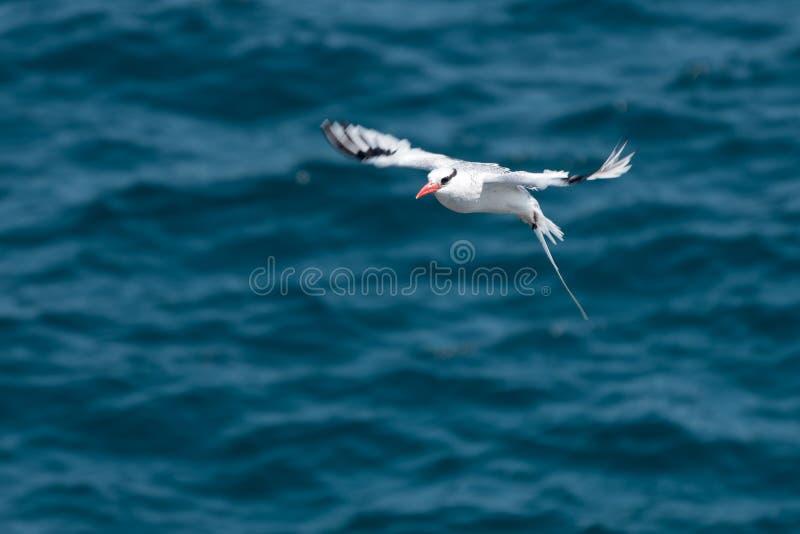 aethereus Rosso-fatturato del Phaethon di Tropicbird in volo sopra l'oceano Pacifico vicino all'isola del sud della plaza, isole  immagini stock libere da diritti