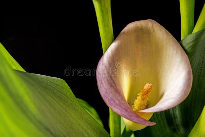 Aethiopica de Zantedeschia, zantedeschia photo libre de droits
