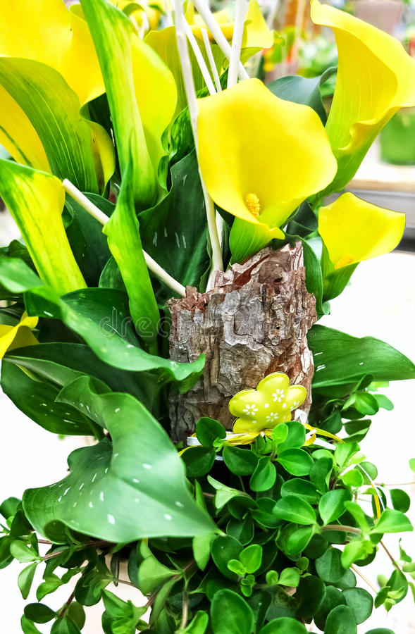 Aethiopica jaune mis en pot de Zantedeschia de zantedeschia photographie stock libre de droits