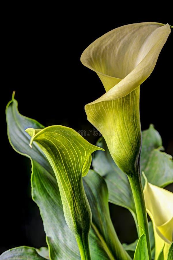 Aethiopica Zantedeschia (общее называет лилию calla стоковое фото