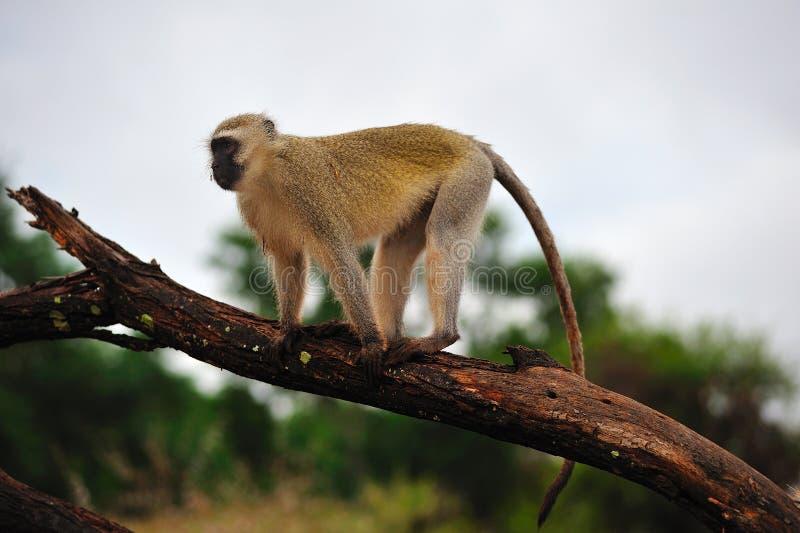 aethiops ceropithecus猴子vervet 库存图片