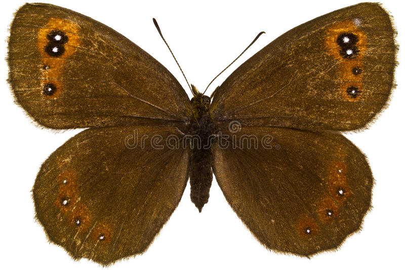 Aethiops Erebia (шотландский Argus) стоковые фотографии rf