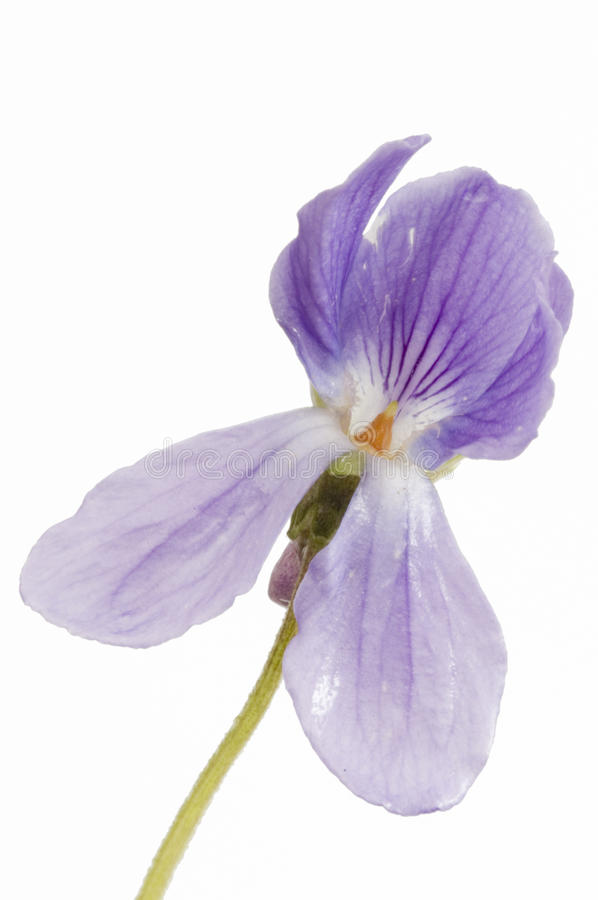 Aethnensis della viola su bianco immagine stock