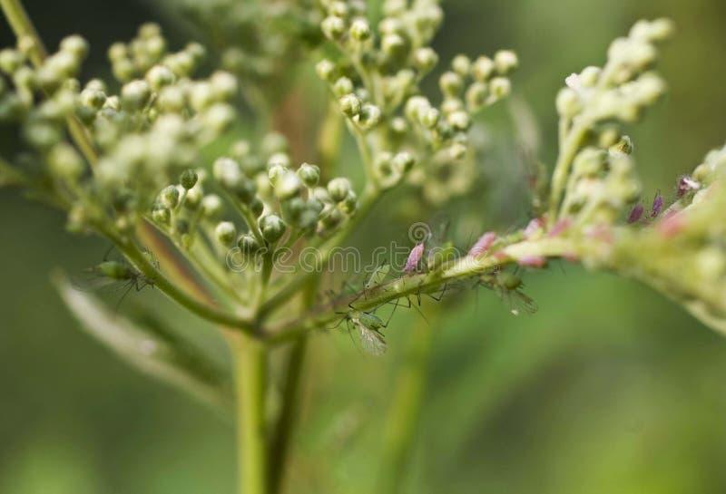 Afídios na flor branca com fundo verde imagem de stock