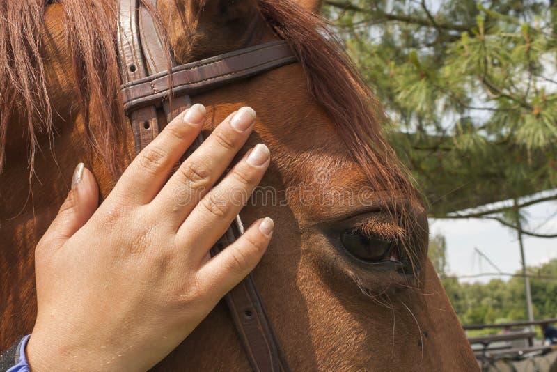 Afagando uma cabeça de cavalo imagens de stock