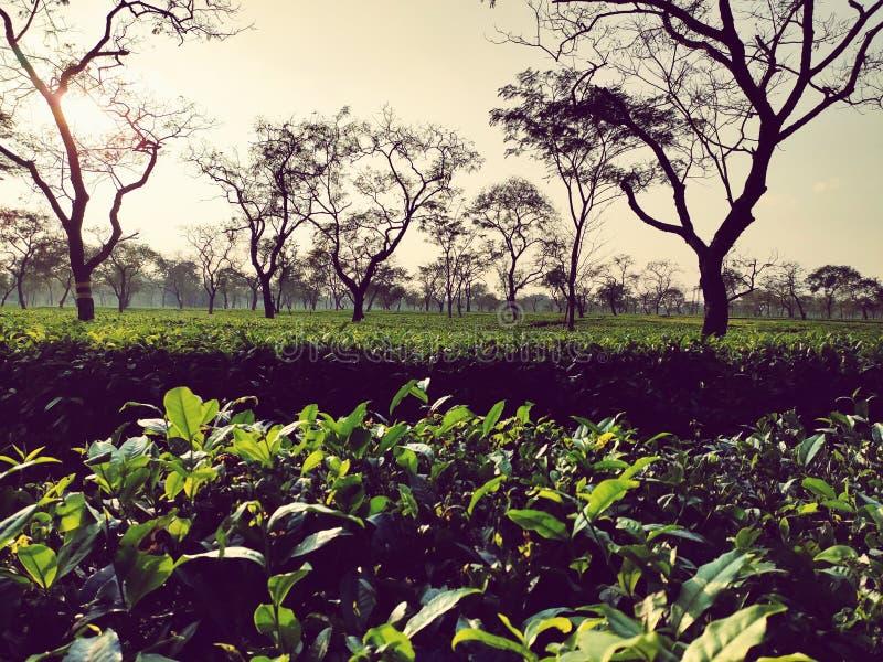 Afbeelding van Borboruah Tea Estate in Dibrugarh, Assam India royalty-vrije stock afbeeldingen