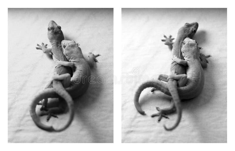 Download Afeição do Gecko foto de stock. Imagem de embracing, scaly - 12804424