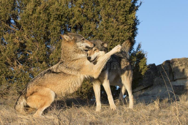 Afeição indicada pelos lobos de madeira masculinos e fêmeas imagem de stock royalty free