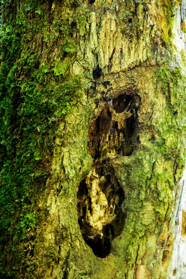 Afetado pelo tronco das pragas da árvore imagens de stock royalty free
