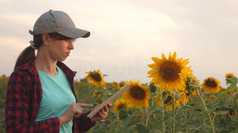 Affärskvinnan analyserar vinster i fält bondekvinna som arbetar med en minnestavla i ett solrosfält i solnedgångljuset royaltyfria foton