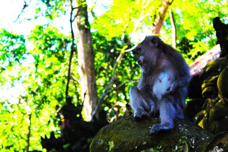 Affaires de singe photo stock