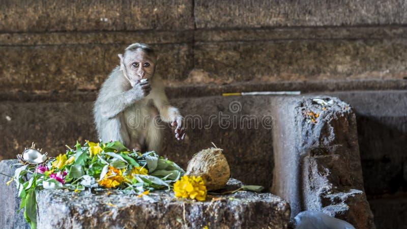 Affaires de singe - un bébé de macaque savourant les offres à un dieu photos stock