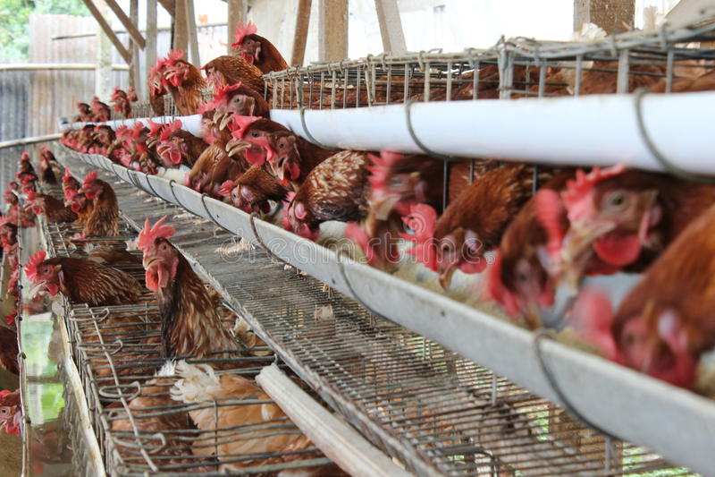 Affare del bestiame del pollo immagine stock