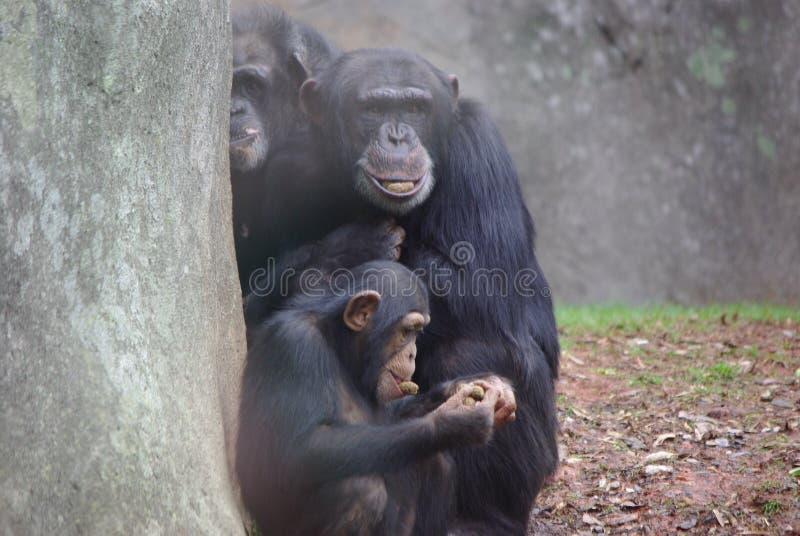 Affare di scimmia immagine stock libera da diritti