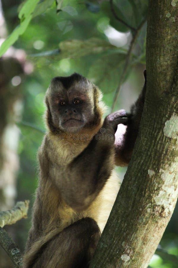 Affe auf dem Baum, der zum Horizont schaut lizenzfreie stockbilder