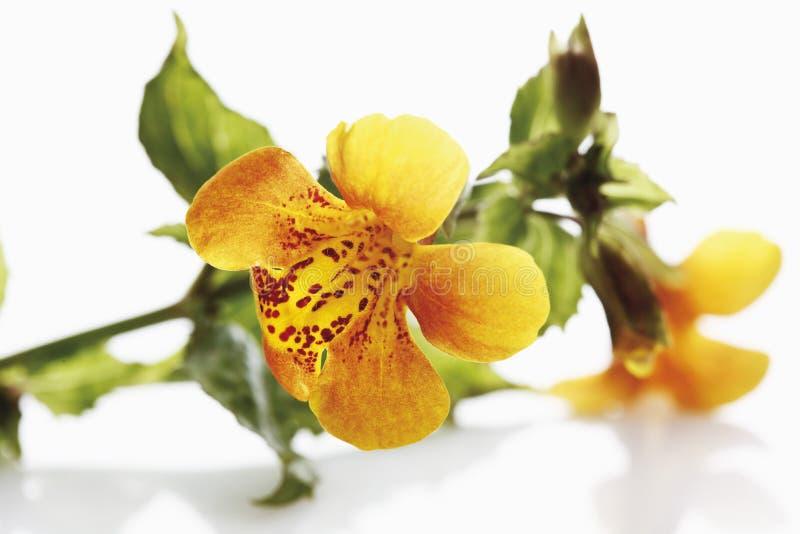 Affe-Blumen lizenzfreie stockfotos