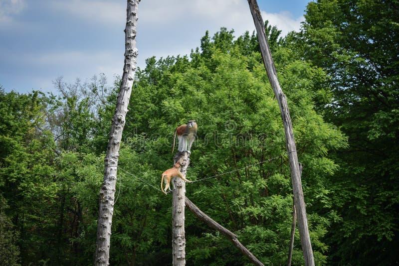 Affe, der auf dem Baum klettert stockfotos