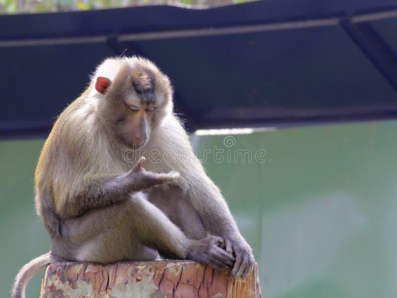 Affe, der auf ihr Mädchen wartet lizenzfreie stockfotos