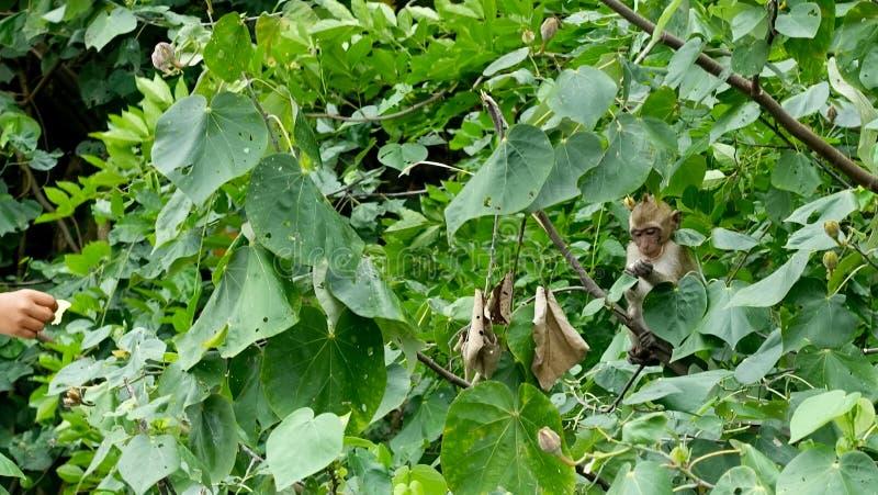 Affe, der einen Apfel im Dschungel isst lizenzfreie stockbilder