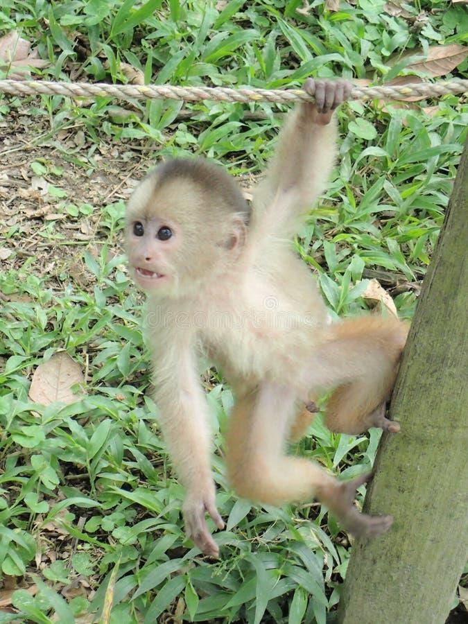 Affe, der herumhängt stockfoto