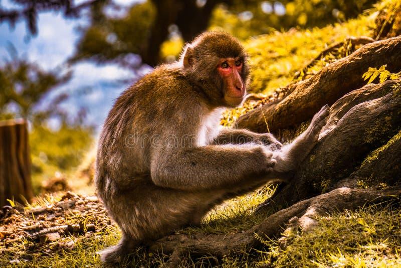 Affe, der seine Beine verkratzt und Zeit vergeudet stockbilder