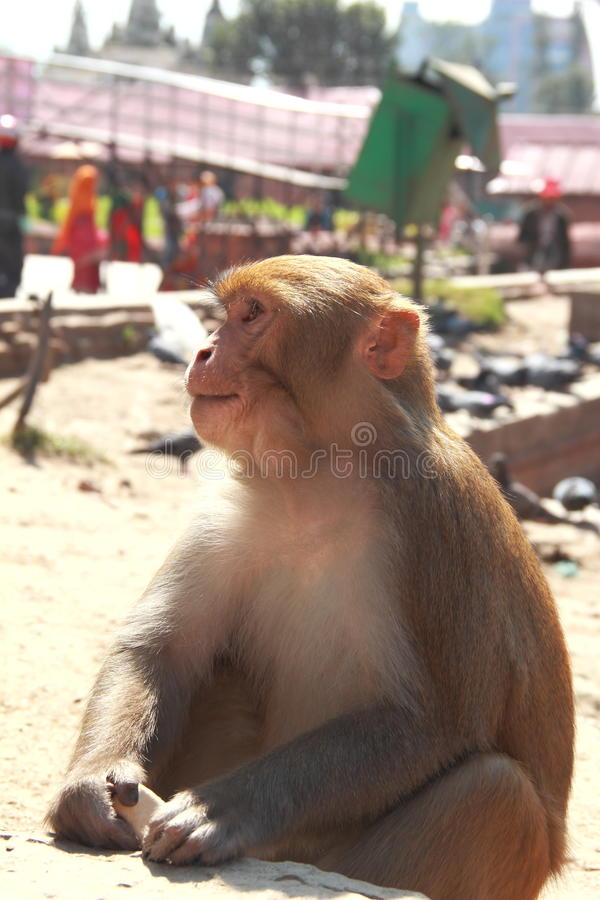 Affe in einem Tempel. stockfotografie