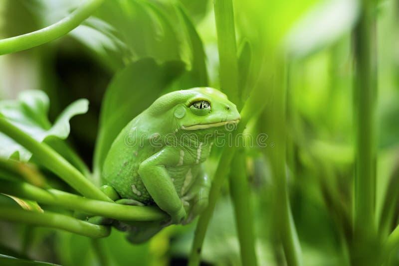 Affe-Frosch stockbild