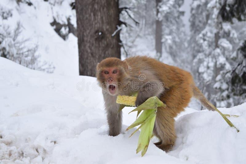 Affe im Schnee lizenzfreies stockfoto