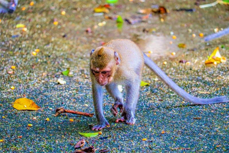 Affe isst eine Banane stockfoto