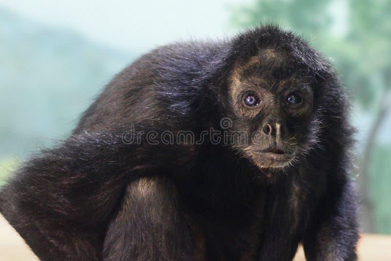 Affe mit blauen Augen stockfotografie