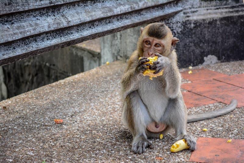 Affe mit Mais stockfotos