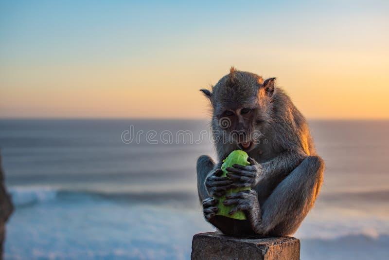 Affe nahe Ozean Gurke bei Sonnenaufgang essend Sonnenuntergang an uluwatu Tempel in Süd-Bali wildnis lizenzfreie stockfotografie