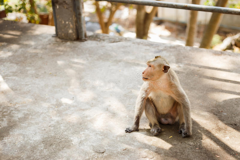 Affe sitzen auf konkretem Boden lizenzfreie stockfotografie