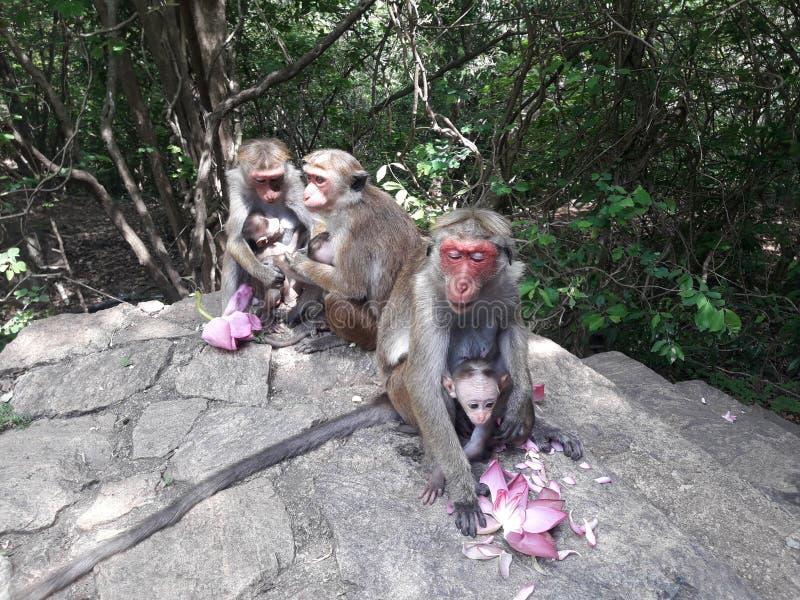 Affe und dort nettes Baby an dambulla Felsen von Sri Lanka stockfoto