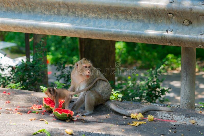 Affe und sein Baby essen Wassermelone Und seine Mutter passen heraus für den Feind auf, der das Lebensmittel nimmt stockbild