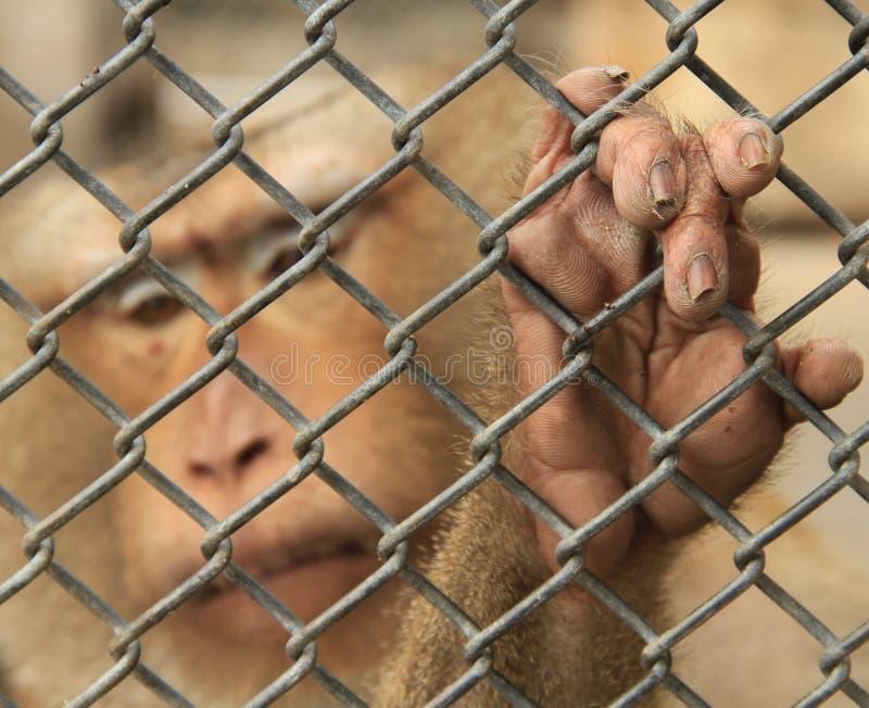 Affe wird eingeschlossen lizenzfreies stockbild