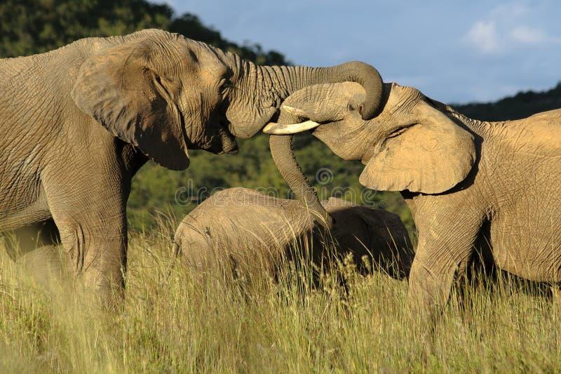 Affectionate Elephants royalty free stock photography