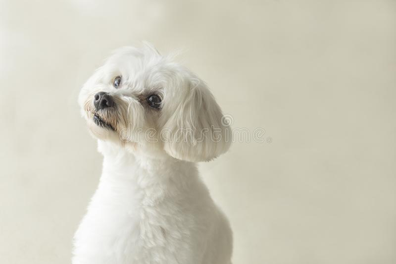 Affectionate look of white poodle in close up royalty free stock photography