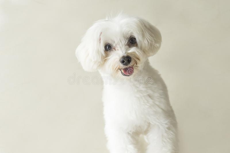 Affectionate look of white poodle in close up stock images
