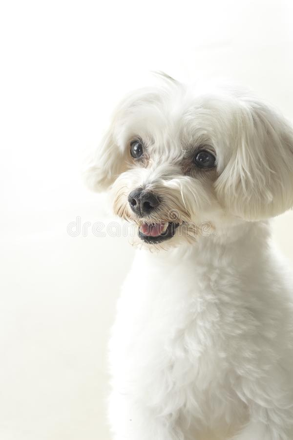 Affectionate look of white poodle in close up royalty free stock photo