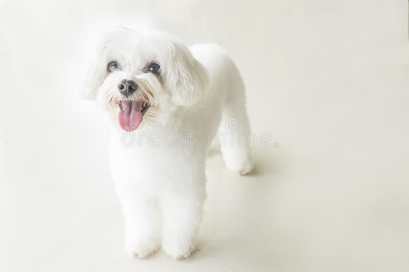 Affectionate look of white poodle in close up stock image