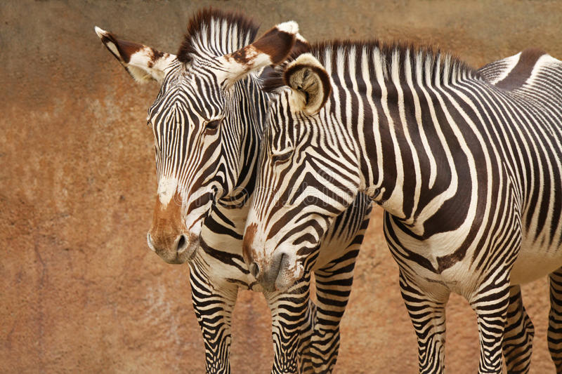 Download Affectionate Zebras stock photo. Image of affectionate - 13255130
