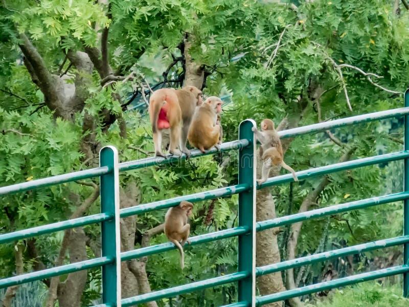 Affefamilie auf Geländern am Tincha-Wasser-Fall Indore-Indien lizenzfreie stockfotos