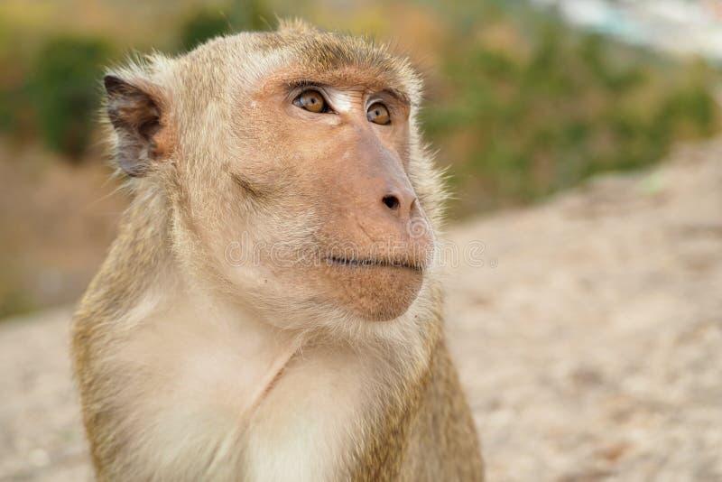 Affegesichtsabschluß, der oben zum Himmel schaut lizenzfreie stockfotos