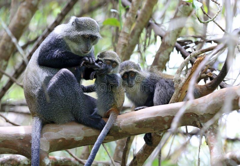 Affemutter überprüft Tatze ihr Baby stockbilder