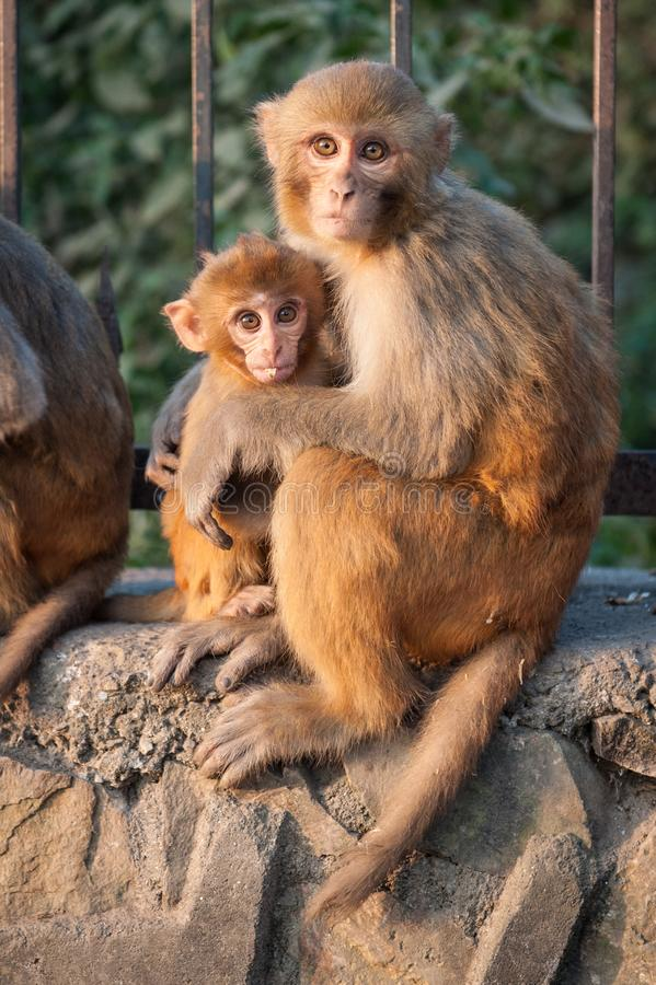 Affemutter, die ihr Baby nahe dem Tempel in Kathmandu, Nepal hält Fallhammer in Katmandu nepal Ein kleiner netter Affe stockbilder