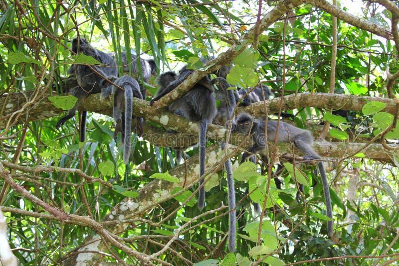 Affen des Makaken-langen Schwanzes lizenzfreies stockfoto