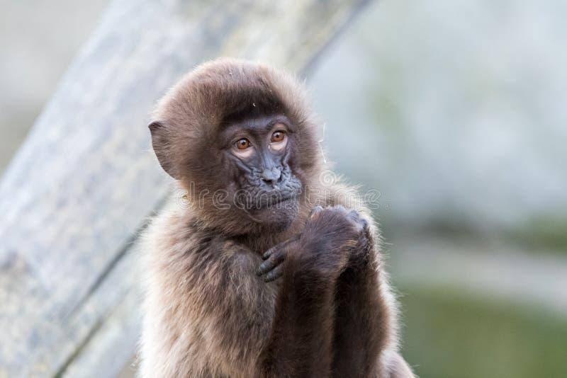 Affen, die mit unscharfem Hintergrund sitzen und essen lizenzfreie stockfotos