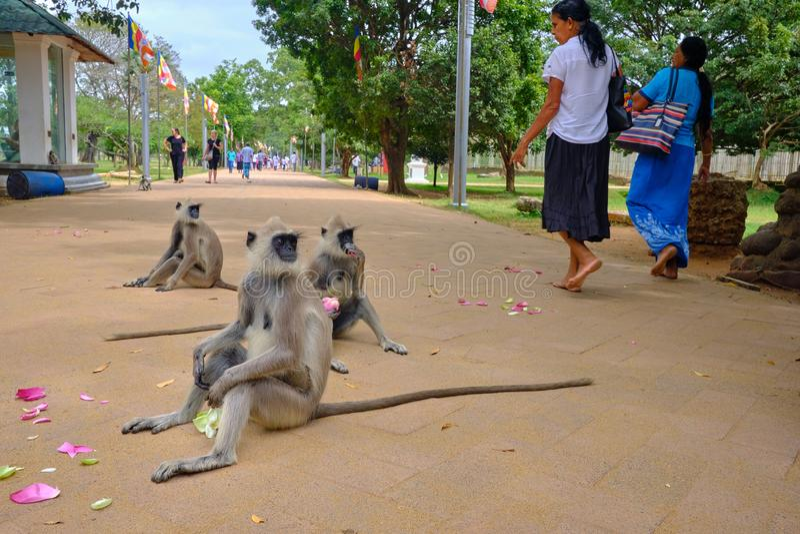 Affen im Tempel in Sri Lanka lizenzfreies stockfoto
